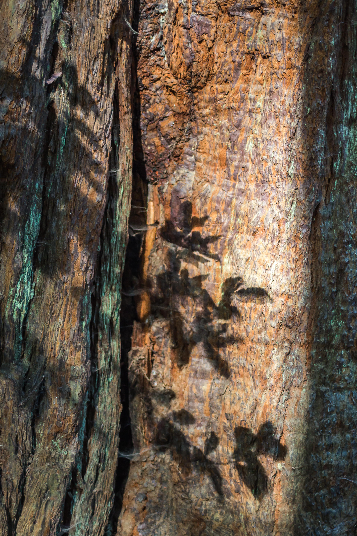 Muir Woods Bark-1