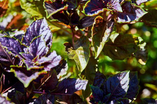 Purple Basil Herb