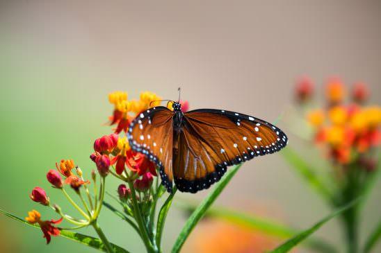 Fredricksburg Monach Butterfly-1