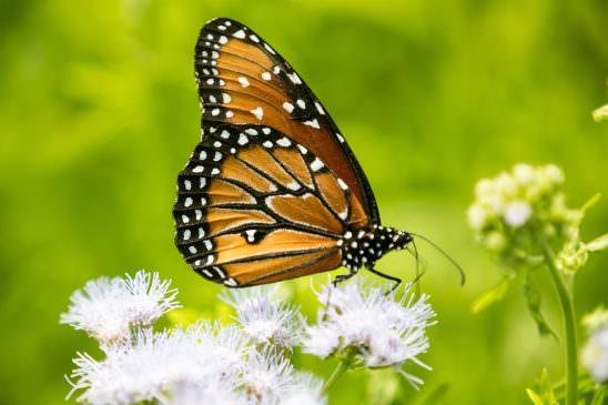 Fredricksburg Monach Butterfly 2-1