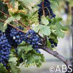 Texas Tempranillo Grapes Valley Mills Vinyard