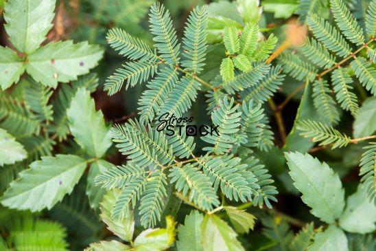 Mimosa, Pudica, Sensitive, Plant, fern, moving