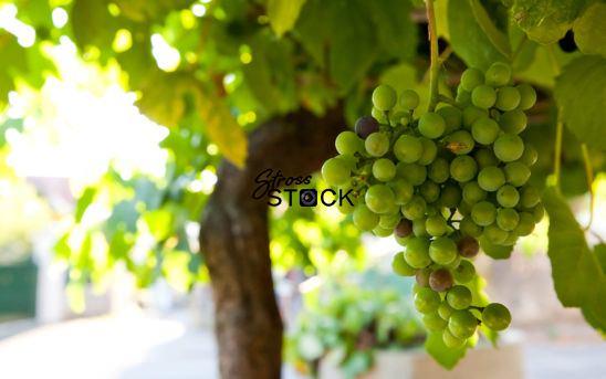 Grapes in Spain-00001
