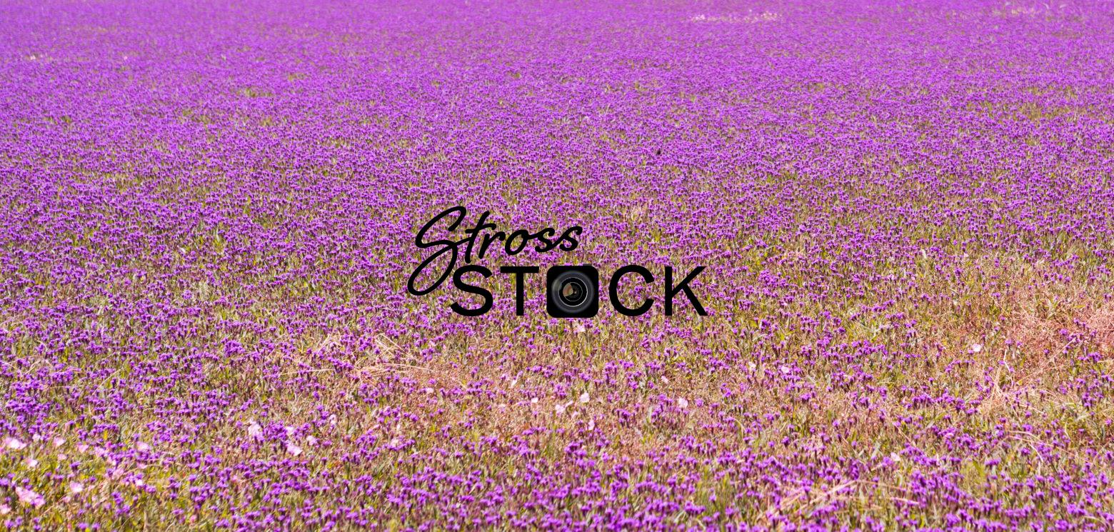 Lavender Field, Fredericksburg, Texas, USA